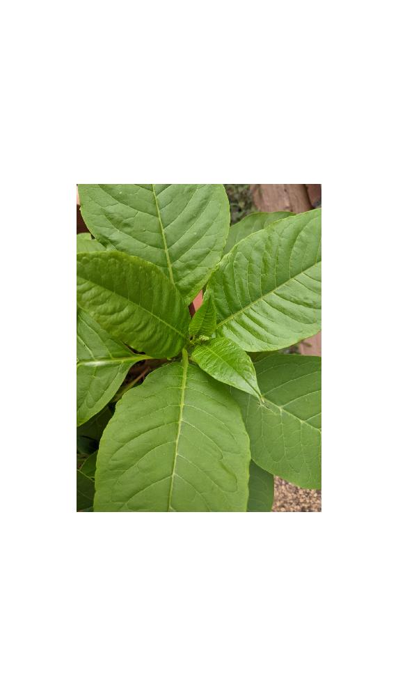 突然生えてきて 一瞬でこの大きさに成長していたこの植物はなんでしょうか。わかる方よろしくお願い致します。