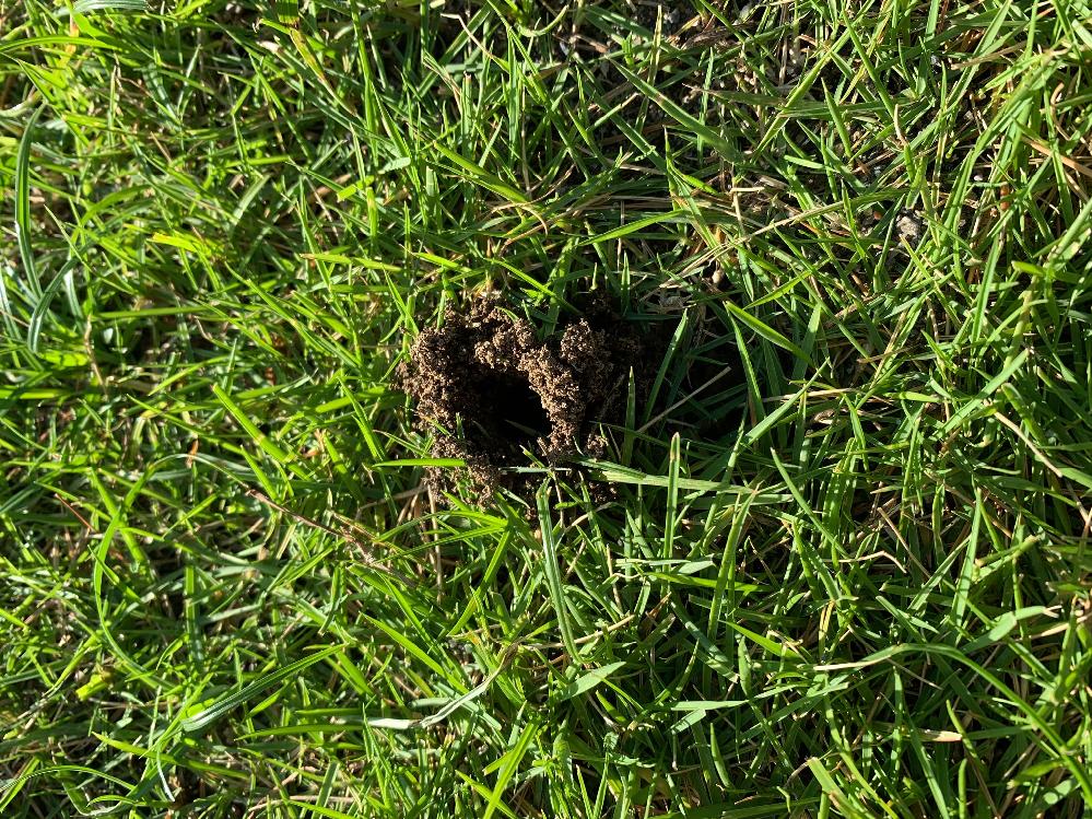 5年目の高麗芝です。 先日円形の枯れの件で質問させて頂きました。 ・当日(7/28)夕方スミチオン(1000倍を2L/㎡)散布 ・8/1 ロブラール散布 上記で様子見しようと思っていた今朝、コガネムシの穴を発見。(円形枯れとは離れた別の場所) ここで再度質問なのですが先日スミチオンを散布したばかりですがすぐ散布し直しても大丈夫でしょうか?間隔を明けたほうが良いですか? 希釈を1000倍を3L/㎡に増やしたほうが良いでしょうか? ご教示お願い致します。