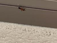 どなたか蟻に詳しい方、教えていただきたいです。 家の外壁を歩いていました。お腹が赤でした。 なんという蟻でしょうか? 害はあるのでしょうか。