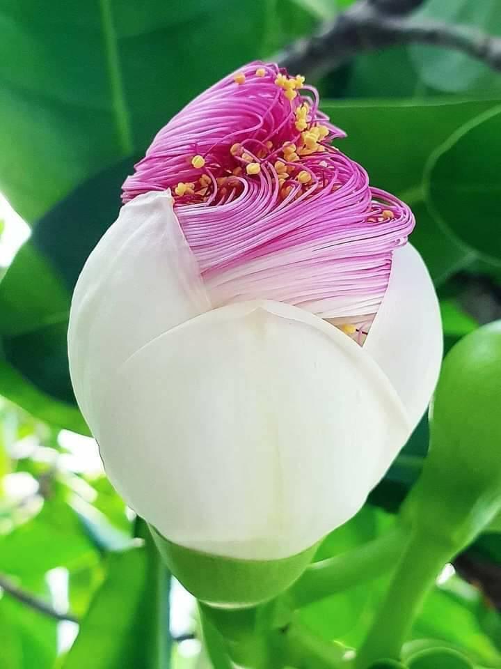 花に詳しい方 よろしくお願いします この花は、何でしょうか? ハスにも見えるのですが、葉っぱが違う気がします。
