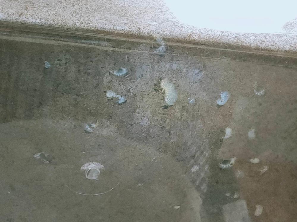 カブトムシとコクロコガネとアオドウガネを一緒に飼ってます。ケースの底を見ると、幼虫が沢山いるのですが、どうやって見分ければ良いでしょうか? 明らかに大きいやつが1-2匹いるので、これがカブトムシの幼虫で、残りは全部コガネムシの幼虫でしょうか?