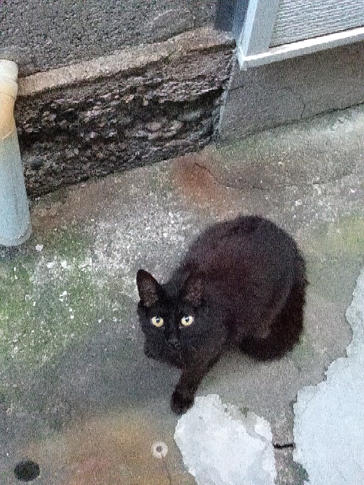 野良猫を手懐けて家に入れるのは無理ですかね?野良なので人を見ると逃げます。 まあ結構なれてきててある程度の距離があればにげないんですけど。野良猫だらけなんですよねうちの周り。最近子猫もいてるようですが、めちゃくちゃこいつは警戒心強くて顔見たらすばやく逃げていきます。この黒はもう大人と思うのですが結構こっちをいつも見てますが逃げはしません距離をとってたらリラックスして寝たりしてます。でもさわるにはハードル高そうです