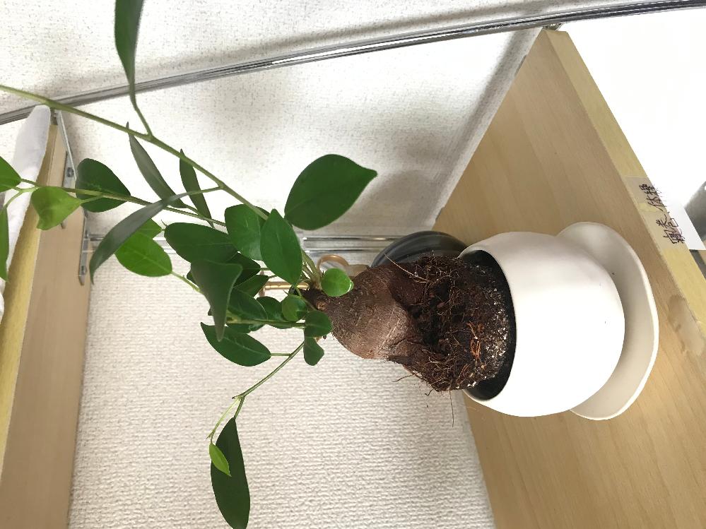ガジュマルを購入したので植え替えをしたのですが鉢の大きさが合わずこうなってしまいました。 鉢...