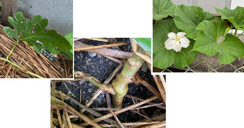 これは一体どうなってしまったのでしょうか?スイカの苗について。 例年のように、スイカの苗をホームセンターで買ってきて庭の畑に植えました。 1本の苗ですが、途中から左右に弦が別れていて、左右で葉の形が違うなぁと思っていたら、スイカだとは思えない方の弦に、今日、白い花が咲きました。色もそうですが、スイカの花ではないような気がします。朝に咲いて昼過ぎにはしぼんでしまいました。 調べてみたら、根元すぐの部分から左右に分かれていて、本来スイカと思われる葉の方は痩せていて、今年は実が成りそうにありませんが、違う葉の弦の方は太くて元気です。 毎年小玉スイカを作っていますがこんなことは初めてです。 スイカの苗は途中から違うものになったのでしょうか? それともこれもスイカなのでしょうか? 接ぎ木か何かしてあったのでしょうか? 園芸に詳しい方、ぜひ教えてください。 庭の畑には他にキュウリ、トマト、唐辛子を植えています。 ※左の写真…左に伸びているスイカの弦の葉 ※中の写真…根に近い左右に分かれている部分。藁が敷いてあります。 太い茎の左に伸びている細い弦がスイカだと思います。 ※右の写真…右に伸びている謎の弦(花が咲いている)