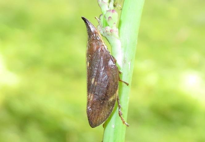 どなたか、この昆虫の名前を教えていただけないでしょうか。本日軽井沢で撮りました。ツノゼミの仲間でしょうか。