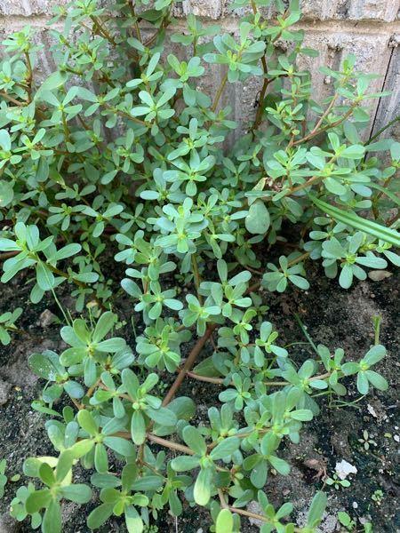 この草はポーチェラカでしょうか? いただいた畑の土の中から、生えてきたのですが、 花が咲きませんが、葉はよく似ています。