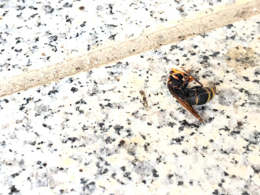 これ何蜂ですか? 毒ありますよね? ちなみに家の中で飛んでました