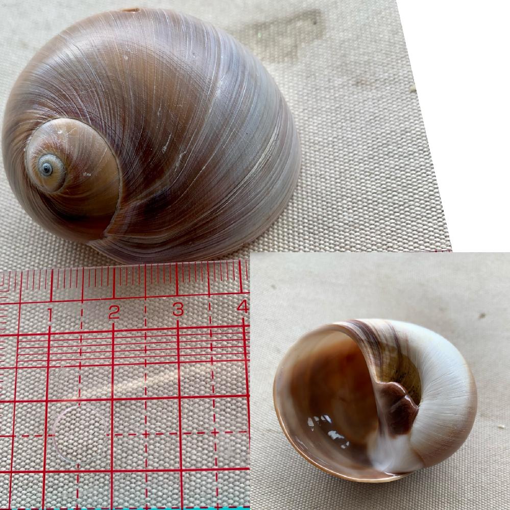 丸っと5センチ大の貝殻を 娘と千葉の検見川浜で見つけました。 貝の種類がわかる方、ぜひ教えてください!