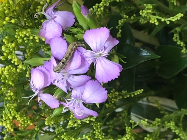 この幼虫は何の幼虫でしょうか? お花屋さんで買った花についてきていました… わかる方、回答お願いします。