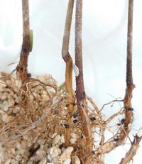 エバーフレッシュの根に黒い粒が有りますがこれは何ですか? ハイドロカルチャー、サンゴ砂に植えて有るエバーフレッシュが枯れました。通販で購入した物で届いた時から元気が無く葉は全てパリパリ、幹の部分も硬くしなやかさは有りません。 新たに近くのホームセンターでエバーフレッシュを購入しましたが比べるてみると一目瞭然、枯れているのだと理解できました。  後学の為、掘り起こして根を見たところ5本有る苗全...