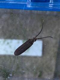 この昆虫は何ですか? 体長1.5センチ程です
