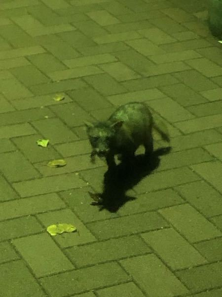 これはなんの生物でしょうか? 近所で見かけたのですが、なんだったのか気になっています。 大きさは子猫くらいでした。