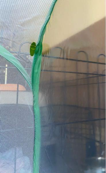 子供が自宅の大きい虫かご(40cmx60cm)で育てているアゲハの幼虫についてですが、蛹になる準備をしているようです(こちらで事前に用意した枝や割り箸を選ばず、虫かごを登ってしまいました)。現在はしっかり固定され ています。 ただ、場所が虫かごの角の90度の部分で片側がビニールの側面なので、無事に羽を広げられるのか心配です。場所を移動させた方がいいのでしょうか。その場合いつ行えば良いのかなどお分かりの方がいらっしゃいましたら教えて頂けましたら幸いです。どうぞよろしくお願いします。
