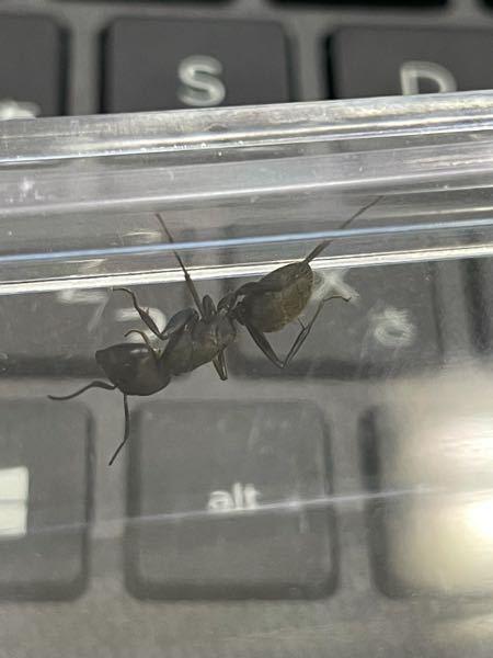 アリに詳しい方教えてください! こちらは先程街中の公園で歩いているところを捕まえました。 約1センチくらいの大きさです。 そこで2つ質問させてください。 ①こちらのアリは女王蟻でしょうか? ②アリの種類はなんでしょうか? 以上よろしくお願いします。