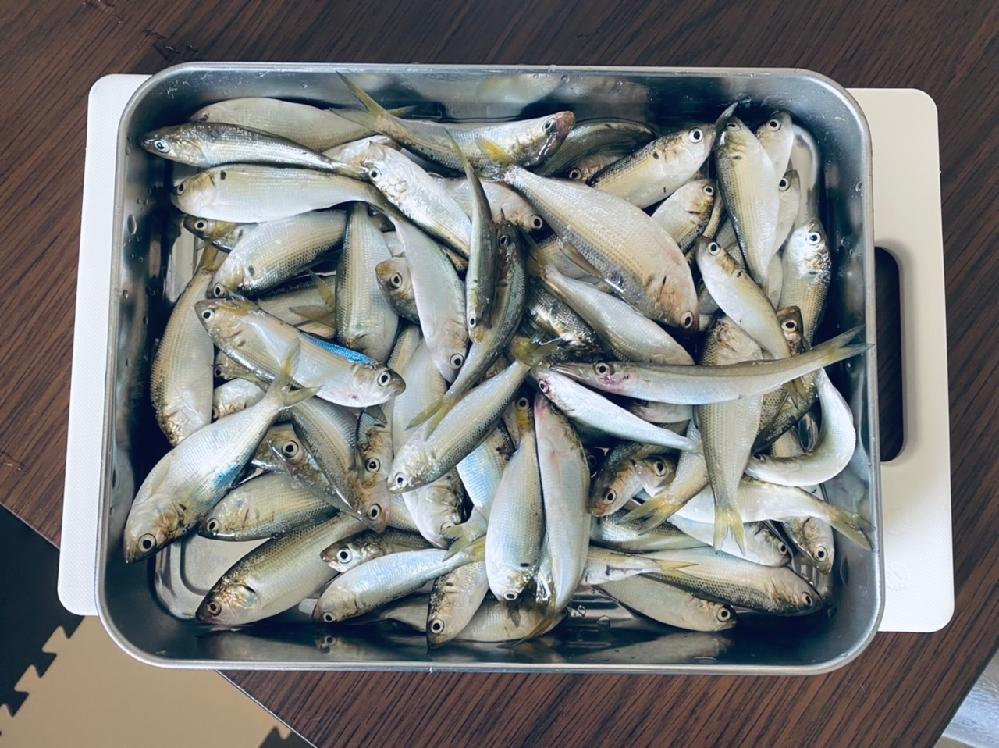 サビキで大量に釣れた魚なんですが、これはコノシロでしょうか?