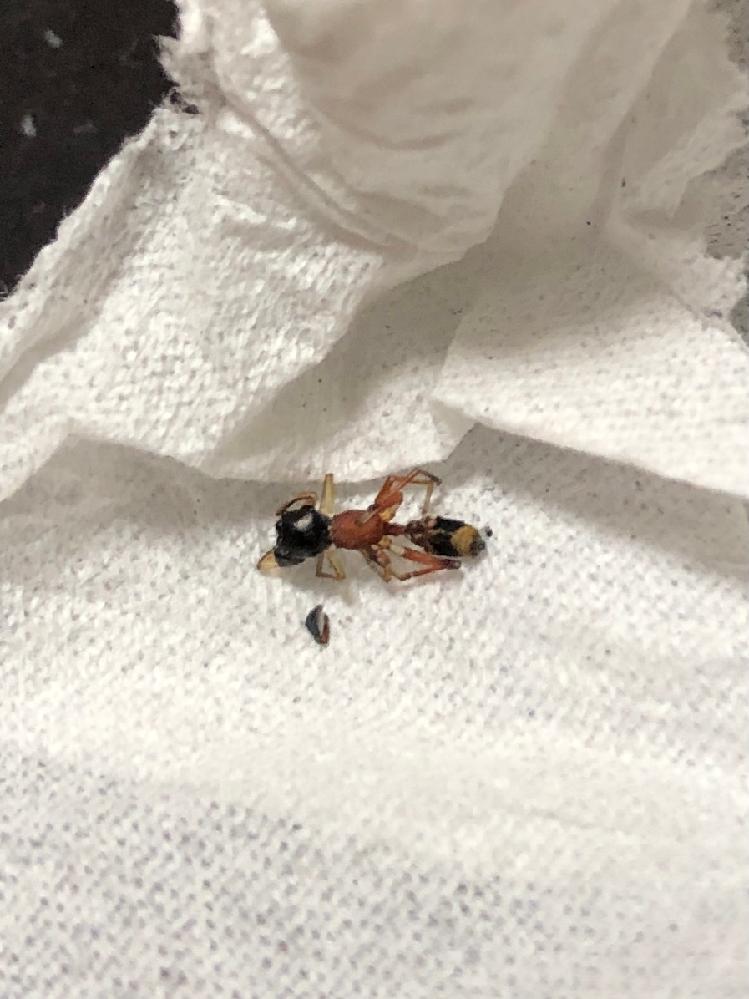 閲覧注意 家にいたアリなんですがなんていうアリかわかる方いませんか?死骸で分かりにくいですがお腹部分が赤く見えます。
