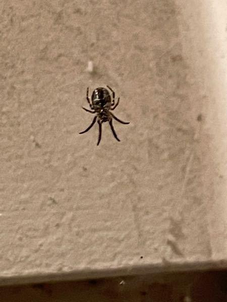 この蜘蛛はなんて名前の蜘蛛でしょうか、教えてくださるととても嬉しいです。何を食べるのかなどもできれば教えて欲しいです、 画質悪くてすみません