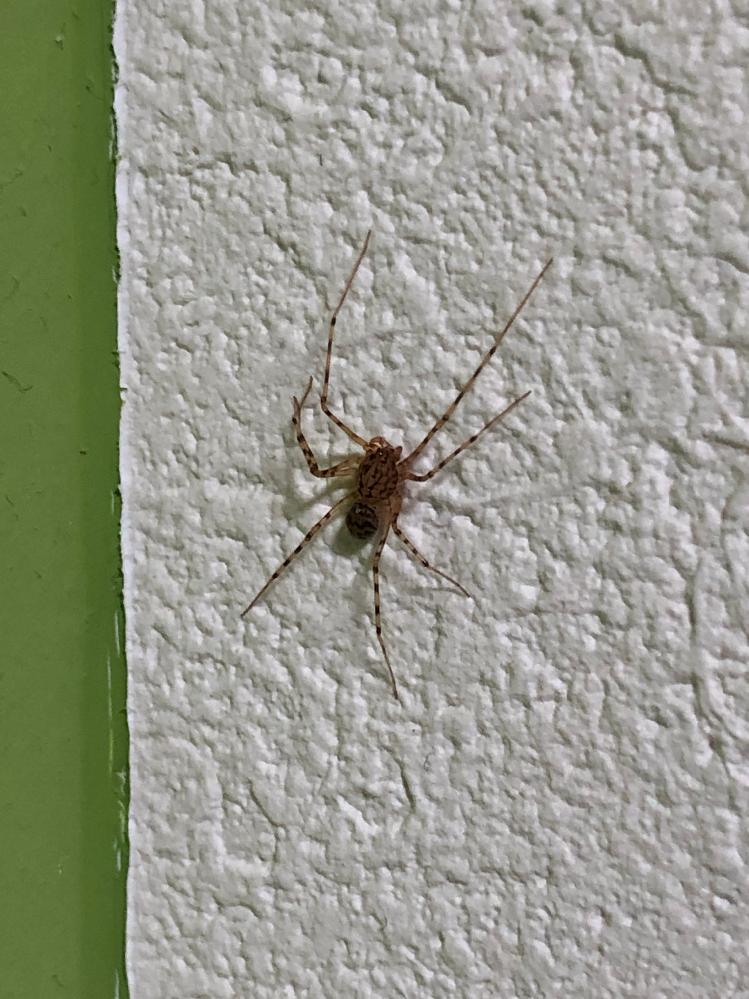 この画像の蜘蛛は良い蜘蛛ですか? 家の壁にいたのですが、そのまま殺さずにいるべきでしょうか?