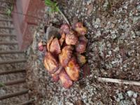 楠木(クスノキ)の切り株から生えて来ました これはなんのキノコでしょう 教えてキノコ博士