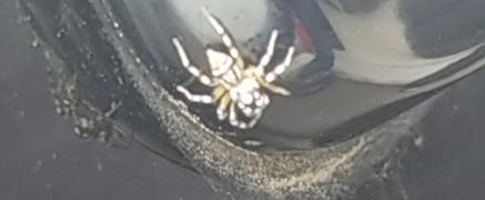 見えにくくてすみません! この蜘蛛はなんという名前の蜘蛛でしょうか? 虫に詳しい方教えていただきたいです。 大きさは3~5mm程度でした