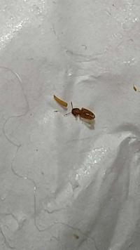 この虫トコジラミですか?