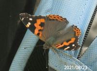 蝶の名前を忘れました、 岐阜県美濃加茂市杁ヶ洞池で、 撮影20210822