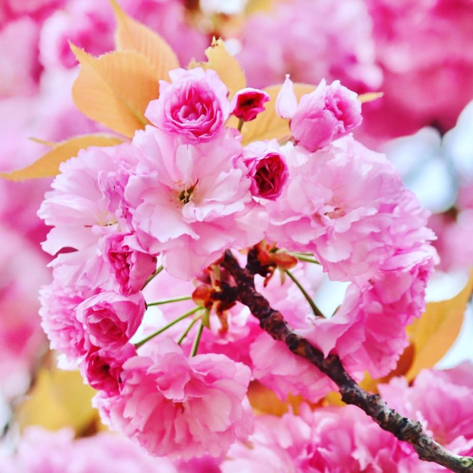 この桜綺麗ですか。感想と曲作ってください。