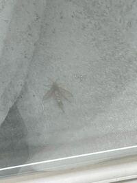 至急お願いします。 これはハチでしょうか? ベランダで見つけたのですが 。