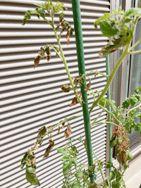 プランターに1株だけのこのミニトマトは青枯病ですか?だいたい 葉っぱがしなーってなって花は咲くけど実が付かず ヒョロヒョロ伸びてはいるけど葉っぱもかれていまいます。1メートル以上ありますが下の6割くらいは枯れて切り取っている状態です。もう収穫は諦めてこのトマトがどうなるか観察中です。症状みて何の病気かわかりましたら教えてください。他のミニトマトは何ともなかったんですけどね。