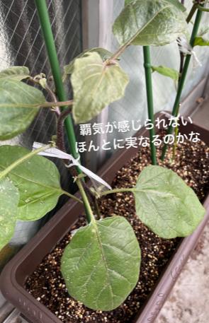 家庭菜園(なす)至急教えてください 花の色が薄く曇りが多かったため仕方ないかなっと思っていたのですが 葉も少し色が剥げてるところがあり白くなてしまったとこがあります。 質問 1.プランター小さすぎますか? 2.葉がしろいのはなに? 3.葉っぱの茎は紫だが葉っぱは緑のままなのは大丈夫? 心なしか、発破にげんきもなさそう? 4. 追肥の肥料のおすすめのタイプは?(粒とか白い粉?など) 5.このまま放置するとどうなる?(2~4こくらいとれるようならOK) 畑でナスを含むやさいは基本育てましたが、プランターは初なので… 地面の時とあまり変わらないようにやってるつもりです。 ベストアンサーは一番丁寧な方にしようと思います。