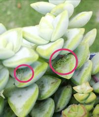 多肉植物クラッスラ属のルペストリス(博星)に画像のような黒点が出てしまいました。 ゴマ粒の様にはっきりとしていて、こすってみても取れませんでした。 病原菌というよりは害虫被害という印象なのですが、、、何が原因なのかお分かりになる方いらっしゃいますか?  クラッスラ属7〜8種類を素焼き鉢に寄せ植え、遮光40%シートを展開、正午過ぎまで陽のあたる屋外で管理をしています。