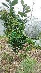文旦の剪定について 教えて頂けませんか?!  今年になり3本(中央 左上 右側)の 新しい枝が長く伸びています まだ新しい芽が 手前にも出て来ていますが いつ どのように 剪定をすれば良いのか 教えて頂けませんか?! 3年目の樹です  宜しくお願い致します(^人^)