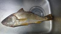 この魚はなんでしょう? 先ほどルアーで釣れました。  調べたところシログチ?ニベ?かと思うのですが、わかるかたいらっしゃいますか?