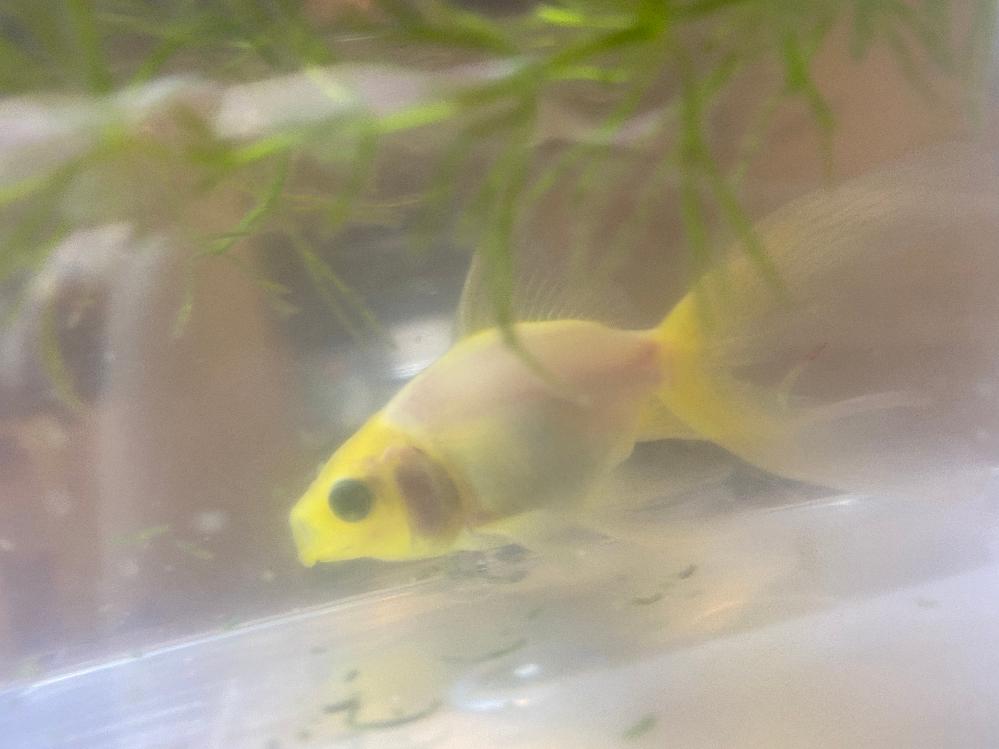 金魚のエラの部分が赤くなってきたので 病気を疑い塩を入れました。 次の日水が白っぽくなっていて ずっと苦しそう(?)に水面にパクパクしています。 尻尾も切れているのですが何の病気なのでしょうか?? 他の金魚は何ともありません。