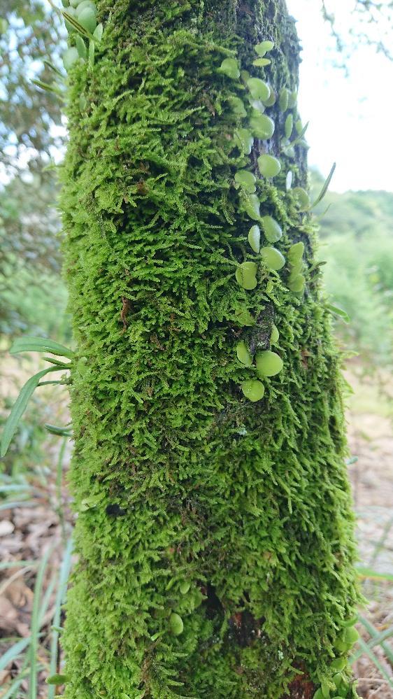 木に生えてる苔ですが これは何苔でしょうか? 調べても似たような苔が多くて… 正確な名前が知りたいです。