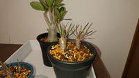 質問です。 2週間ほど前にパキポディウ ムグラキリスを購入し、鉢に5本植えられていたので2本と3本に分け鉢に植え替えました。 それから一週間程で葉っぱが茶色く変色してきました。病気なのか時期的なものなのかわかりません。どなたか教えていただけませんか?また対処法なども分ければ有りがたいです。 宜しくお願い致します。