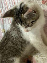 この猫はキジ白、サバ白どちらですか?