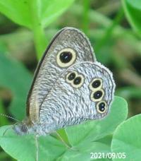 蝶の名前を教えてください、 岐阜県米田白山で 撮影20210905