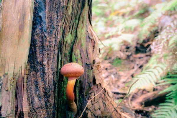 これは何て言うキノコですか? 食べれますでしょうか? 木の根本から生えてました