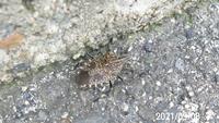 虫の名前を教えてください、 岐阜県美濃加茂市太田橋で、 撮影20210908