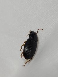 最近、家の中で同じ虫を2回ほど見かけました。  隙間などから入り込んだだけならいいのですが、家の中で繁殖するような虫なら気持ちが悪いです。  ゴキブリではありません。  なんという虫でしょうか?