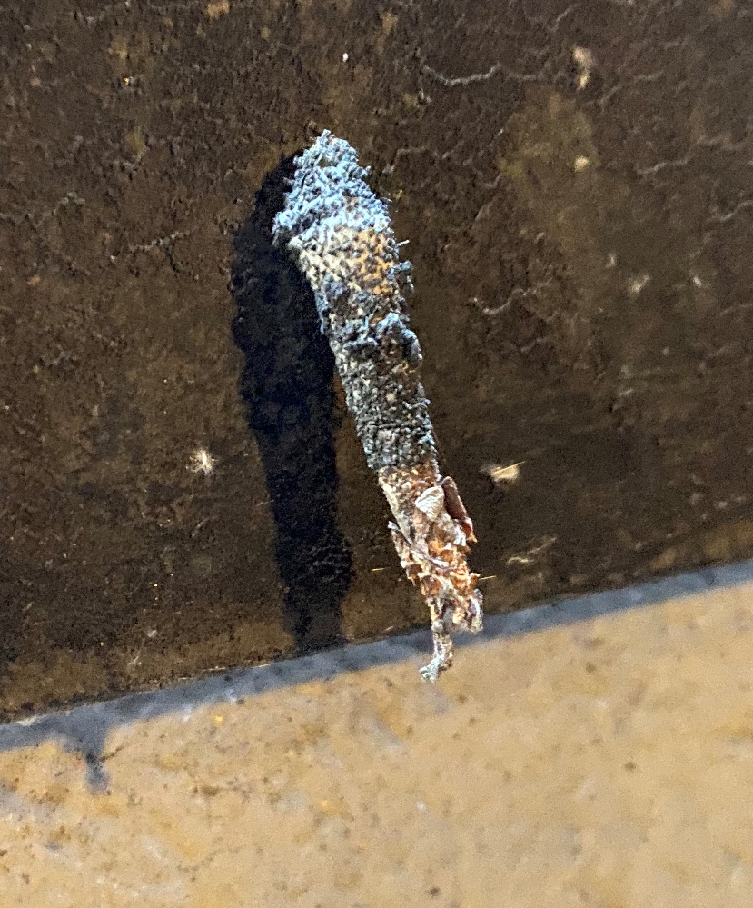 壁にこんなのが生えてたんですが何か虫の蛹でしょうか? 詳しくわかる方教えてください。