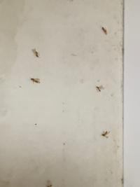 この羽蟻は、なんという種類でしょうか? 帰宅後、網戸にしていると電気に大量に集まっていて、窓付近から電気の場所までで数百匹はいました。 今は処理して、処理してからは数匹みかけてましたが、それも処理したら今は1匹も見当たりません。 処理中から、ドアは閉め切ってます。 外から入ってきたのだと思います。