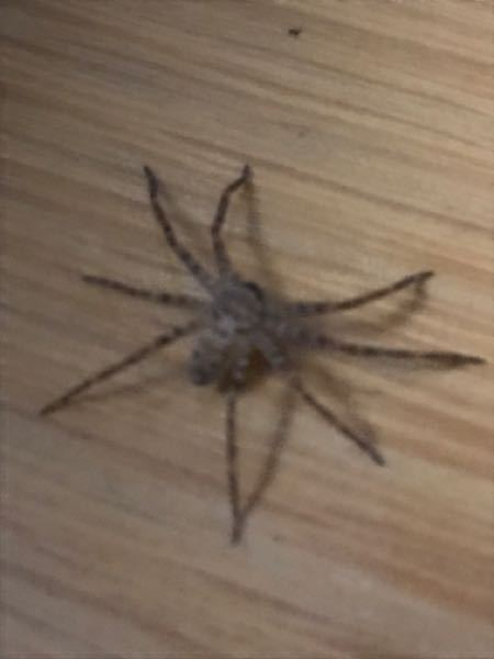 【蜘蛛写真あり】週一程度で掃除してゴミ捨てもちゃんとしている家の中にアシダカグモ(幼体で脚含めて3cm程度、写真のもの)の餌となる虫はどれくらいいるのでしょうか?ワンルームマンションでゴキブリは2年以上住 んでいて1回だけ見ました。 1ヶ月前くらいから住み着いてて小さくてちょっと可愛らしいので見過ごしてあげているのですが、餌があるのかどうか少し不安です。ちゃんと動いてますが太ってる感じもないです。痩せてますかね? たまに換気のために窓を開けますが基本クーラーをつけているため締め切っています。稀に1mmくらいのコバエみたいな虫は見かけますがどうなんでしょうか?意外と見えないところに虫がいて捕食しているのでしょうか?