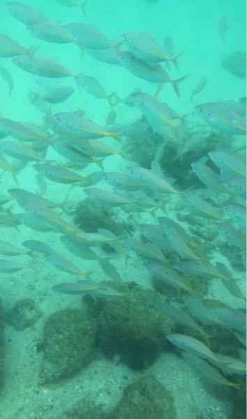 「なんの魚か教えて欲しい」本日長崎の島でシュノーケルをしていた所、大量の魚に囲まれました。気になったので魚の種類を教えて頂きたいです。