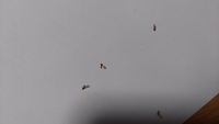 夜に小虫がなんでか沢山いるなと思い家の中を色々見ていたら窓にたくさん写真の虫がくっついていました。この虫はなんなのでしょうか。 小さくて分かりずらいかもしれませんがご確認頂けると助かります。よろしくお願い致します