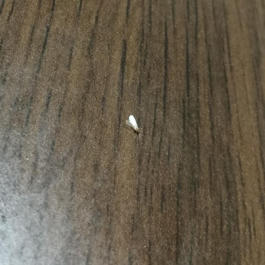 この虫は、何ですか? 蚊と同じくらいの大きさで、気づくとテーブルの上、私の足、テレビ画面、洗面所… 至るところを歩いています。 動きは鈍く、逃げられることはありません。 しかし仕留めるとまた新たに一匹出てくることの繰り返しで… 夕方から深夜にかけて20匹くらい捕らえました。 キリがなく、嫌になってきました。