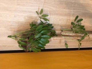 この植物はパキラでしょうか? 夏までは元気に上向きに葉が伸びていましたが、急に生え際が黒くなり葉の重さに耐えきれない感じでしおれてしまってます… 剪定した方がいいのでしょうか? 水はちゃんと定期...