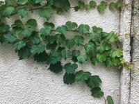 ツル植物についての質問です。 お庭にこのようなツル植物が生えているのですが名前がわかる方はいないでしょうか? よろしくお願い致します。