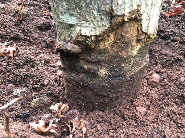 いろは紅葉を4年前に植えました。毎年、徐々に元気がなくなり、春はアブラムシにやられて、スミチオンで何とか持ち直しましたが、今の時期、紅葉する前に葉っぱが枯れてしまいました。根に問題があるのかと思い少し 掘ってみました。写真のように、土の下の幹がえぐれて、一周細くなっています。腐ってきているのでしょうか?何とか生き返らせたいのですが、原因と処置の仕方を教えて頂けないかと思い、投稿しました。どうぞよろしくお願いいたします。